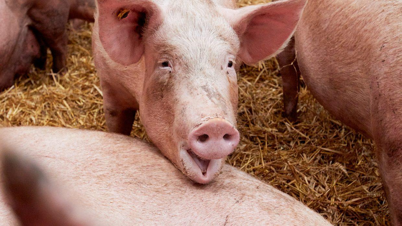 Eerste varkensstal met 2-sterren Beter Leven Keurmerk van de Dierenbescherming geopend